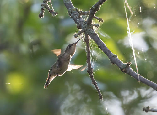Ruby-throated Hummingbird snatching insects from spider web