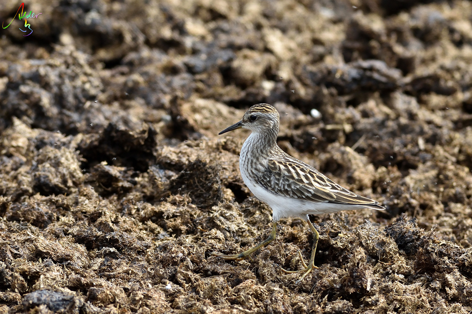 Long-toed_Stint_8175