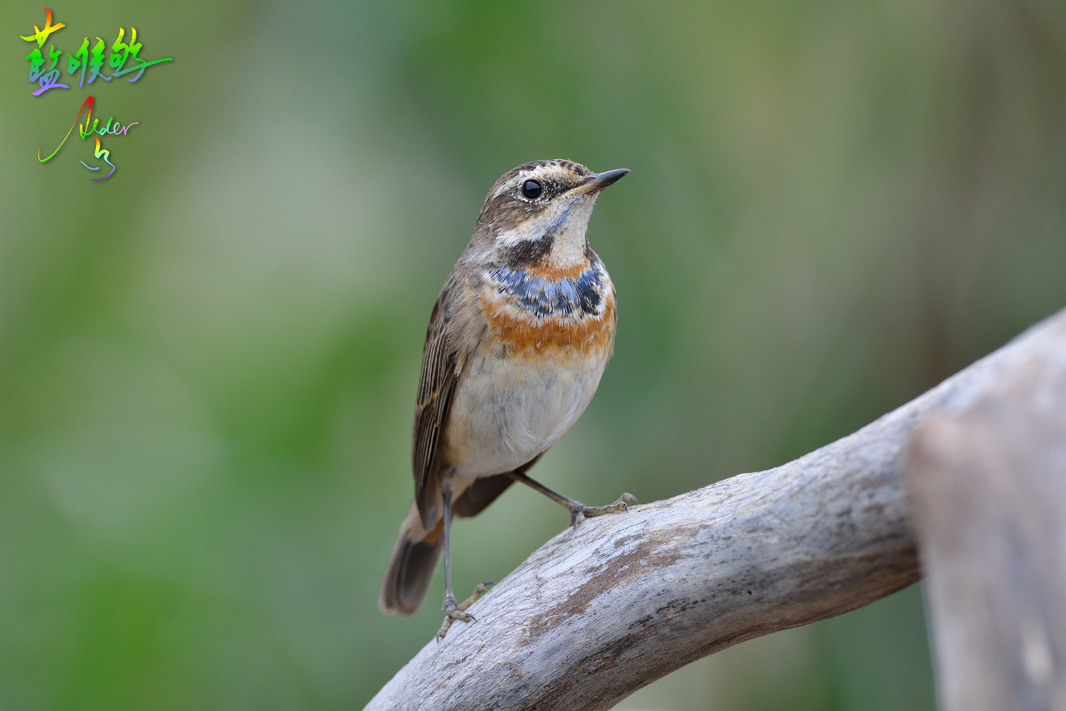 Bluethroat_0349