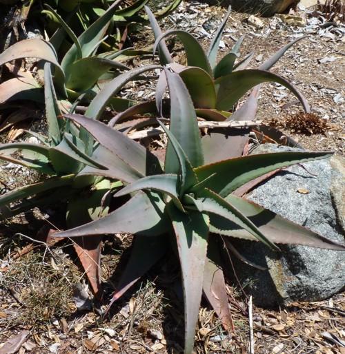 Aloe rubroviolacea 28315559013_bc9ffc86e3_o