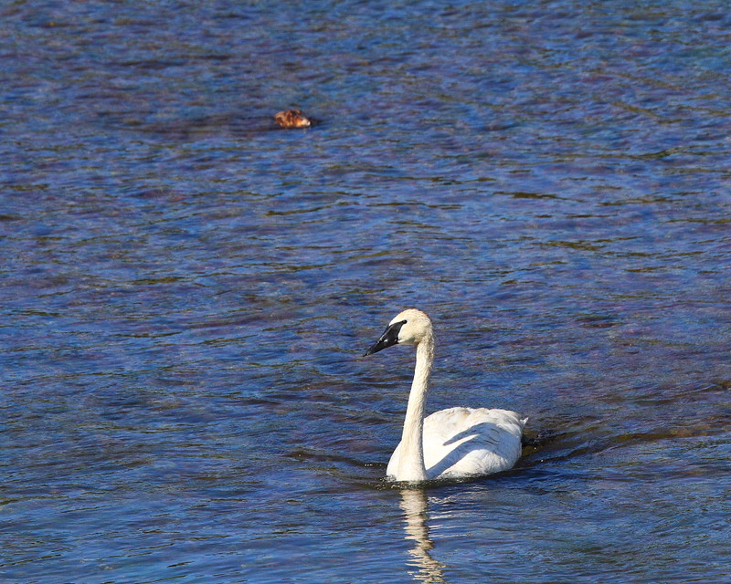 IMG_2188 Trumpeter Swans and Beaver