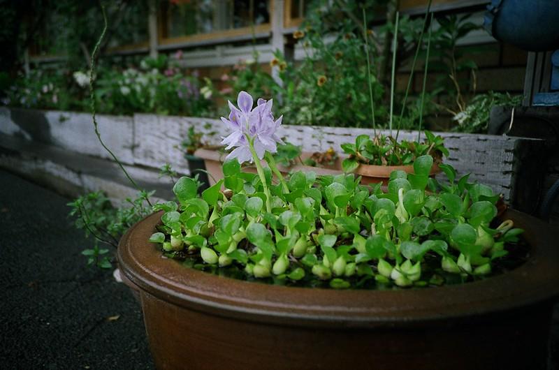 ホテイアオイ / Water hyacinth