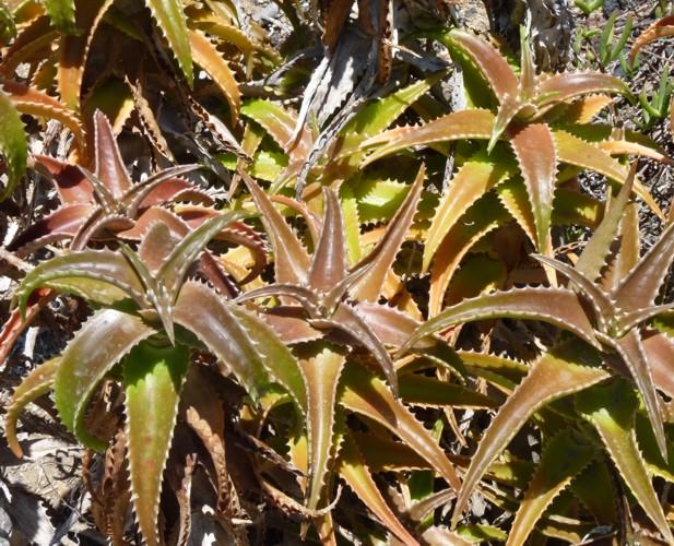 Aloe fibrosa 28311114053_1d64bcfc77_o