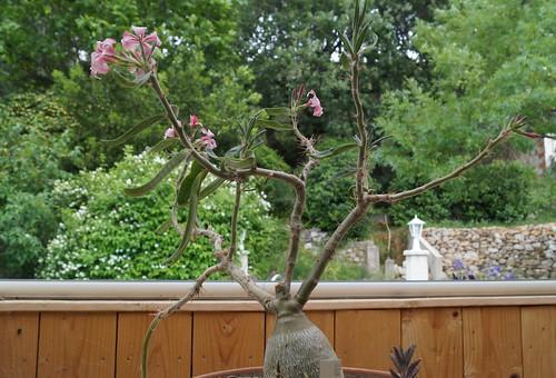 Pachypodium succulentum 17285515013_3eafeecda2