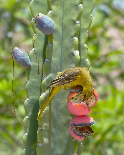 Hooded Oriole at the cactus fruit