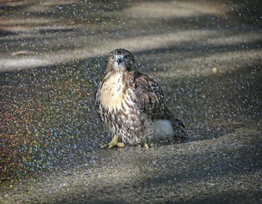 Hawk taking a shower