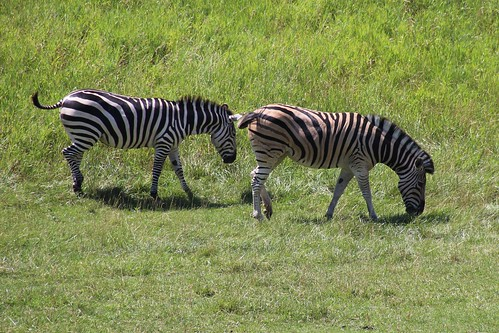 IMG_8059_Grant's_Zebra_&_Damara_Zebra