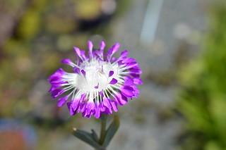 DSC_3140 Erepsia pillansii エレプシア ピランシイ 千歳菊